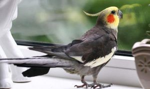 Parrot Koroela.