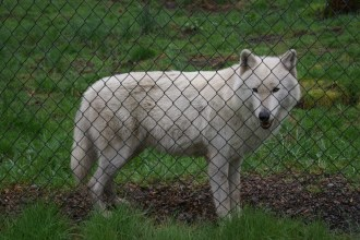 This gorgeous wolf is named London. His partner Kiawatha was a bit more camera shy.