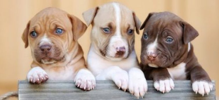 Best Guide For American Pitbull Puppies 2021