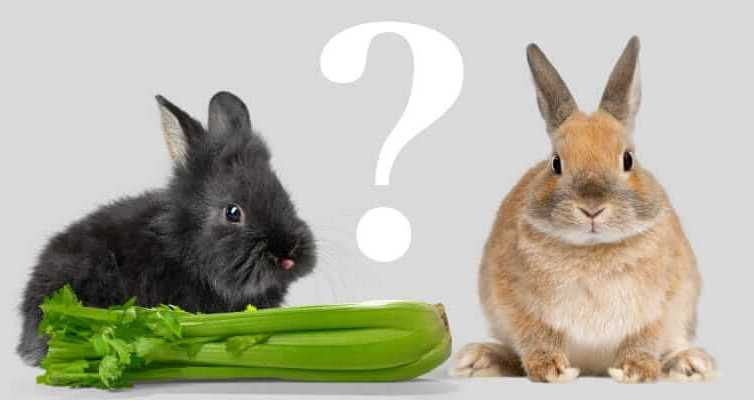 Can Rabbits Eat Celery – Best Guide 2021