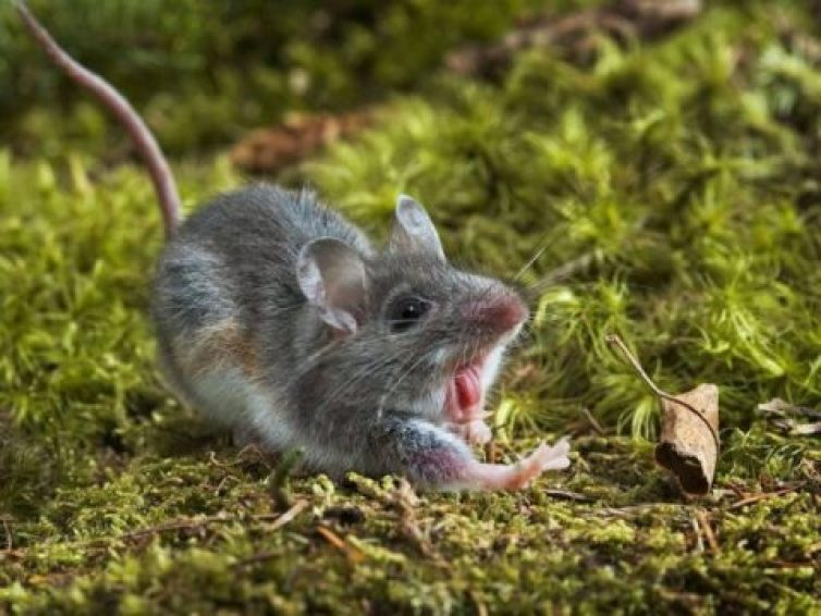 How Long Do Rats Live – Best Guide 2021