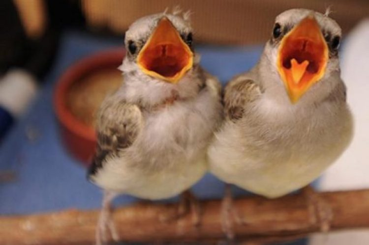 How to Save a Baby Bird and Rescue Baby Birds