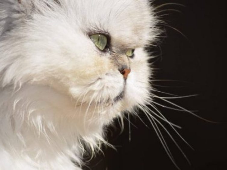 Best Guide Tips To Grow Your Persian Cat Personality 2021