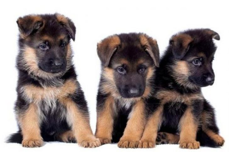 A Complete Guide For German Shepherd Care 2021