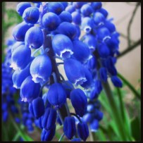 Miss Bluebells