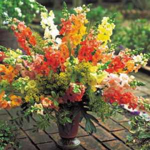 picture of Snapdragon in vase