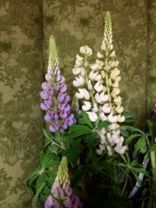 picture of Lupine