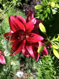 picture of Lilies