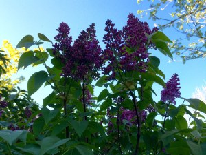 picture of lilac blooms