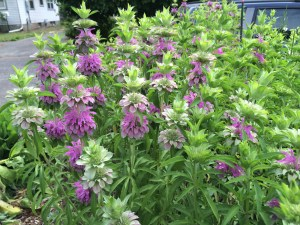 picture of Beebalm