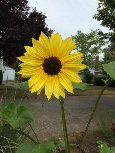picture of Sunflower