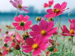 picture of cosmos flower