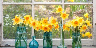 daffodills2