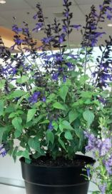 Salvia Amistad - image courtesy of J. Shepard
