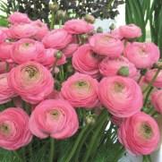 ranunculus-ranunculus-aviv-pink-e8a-1
