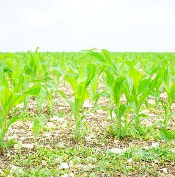 Mengapa Petani Sering Menanam Kacang-Kacangan di Sela Tanaman Jagung