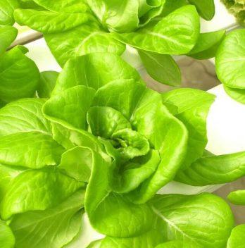 7 Jenis Sayuran Hidroponik yang Sering Dibudidayakan