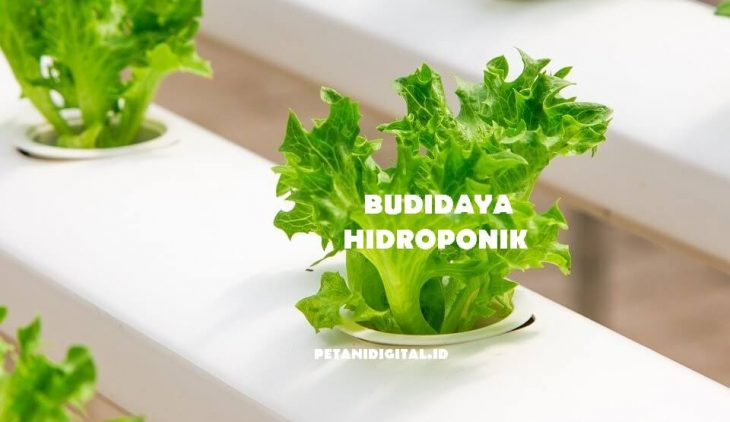 Budidaya Hidroponik