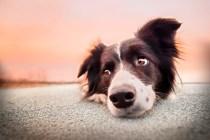 por que castrar seu cachorro