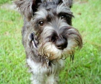 melhores raças de cachorro para apartamento -Schnauzer