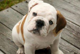 melhores raças de cachorro para apartamento - buldogue