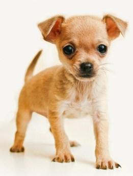 melhores raças de cachorro para apartamento - chiuaua