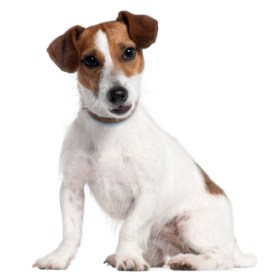 melhores raças de cachorro para apartamento - jack