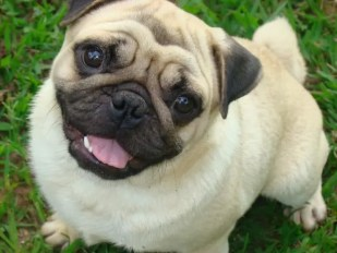 melhores raças de cachorro para apartamento - pug