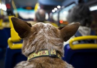Pode gato e cachorro no ônibus