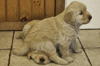 ensinar o seu cachorro a sentar 2