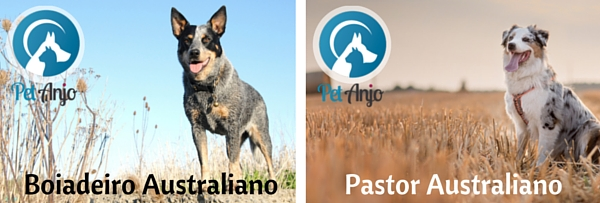 Diferença Boiadeiro Australiano e Pastor Australiano