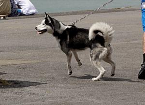 cachorro puxando guia