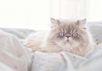 Tudo sobre o gato persa
