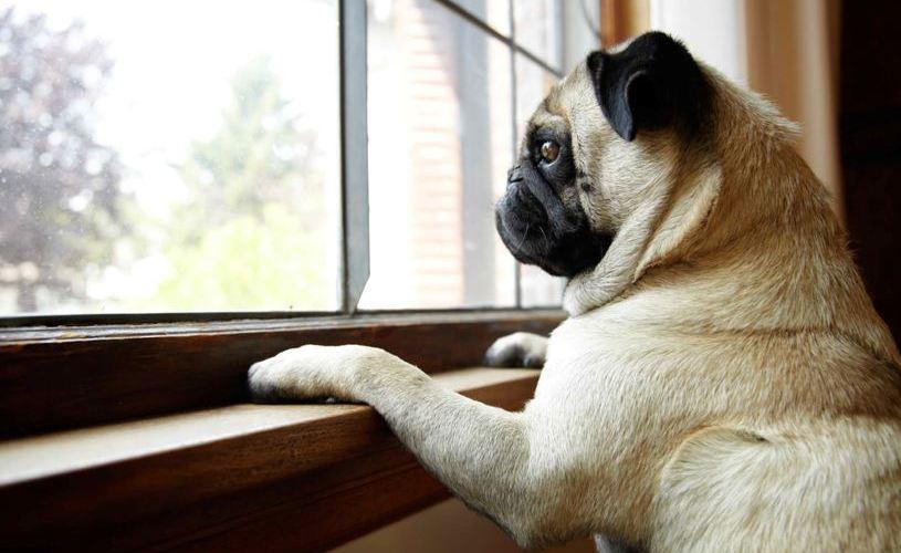 Cachorro com ansiedade de separação - Pet Anjo