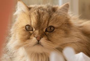 temperamento gato persa