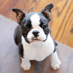 boston terrier e pug