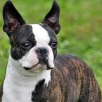 boston terrier e bulldog frances