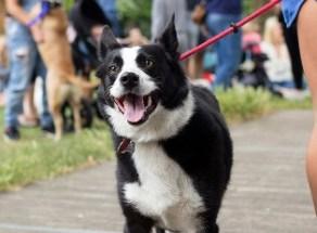 dog-walker-passeia-com-cachorro-grande-que-vive-em-apartamento-pequeno
