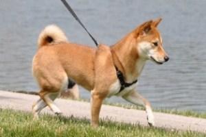 dog-walker-pet-anjo-passeia-com-cachorro-vantagens-de-passear-com-cao