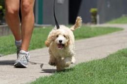 dog walker passeia com cão