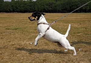 dog walker cachorro puxando a guia