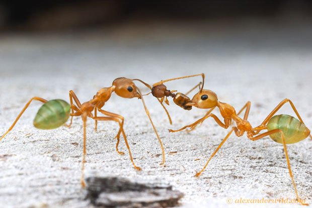 Intense Macro Photos of Ants Battling to the Death Oecophylla4 L copy