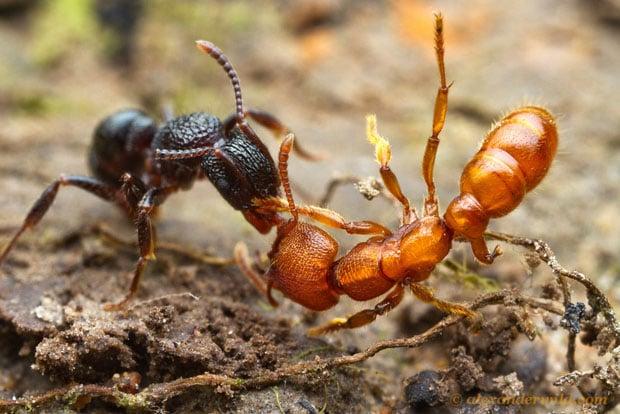 Intense Macro Photos of Ants Battling to the Death ferruginea1 L copy