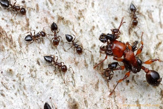 Intense Macro Photos of Ants Battling to the Death gratiosa3a L copy