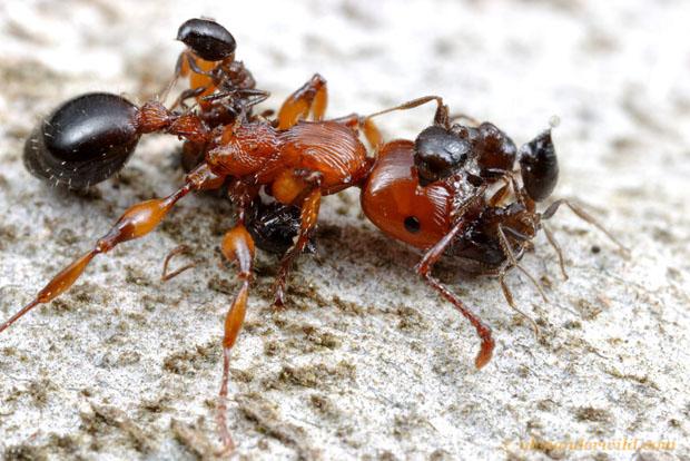 Intense Macro Photos of Ants Battling to the Death gratiosa4a L copy