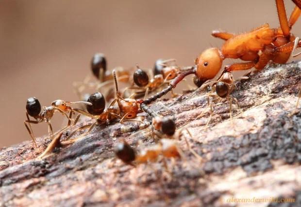 Intense Macro Photos of Ants Battling to the Death hamatum9 L copy