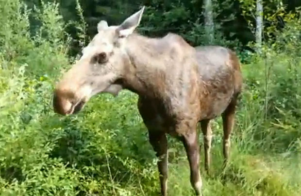 Photographer Learns Why You Shouldnt Get Too Close to Wild Moose moose