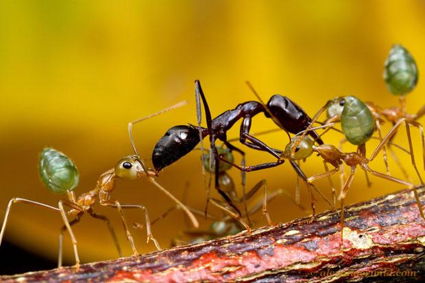Intense Macro Photos of Ants Battling to the Death smaragdina27 L copy