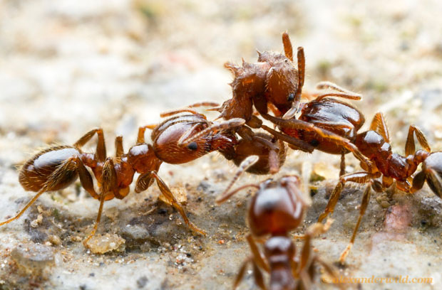 Intense Macro Photos of Ants Battling to the Death vafra4 L copy