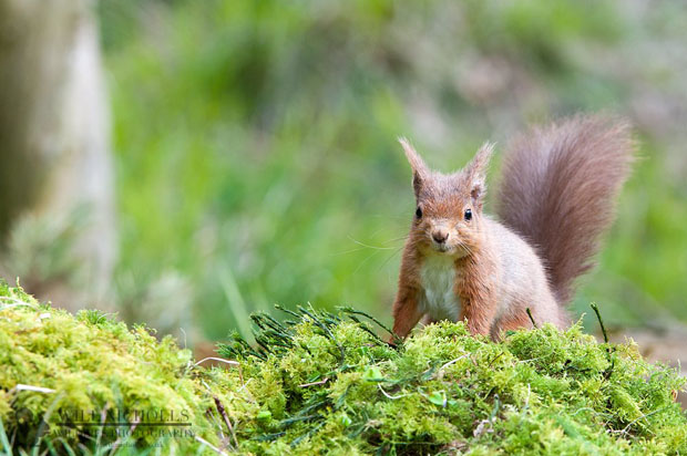 Photographing the Endangered European Red Squirrel 473038 349711118417892 763441283 o